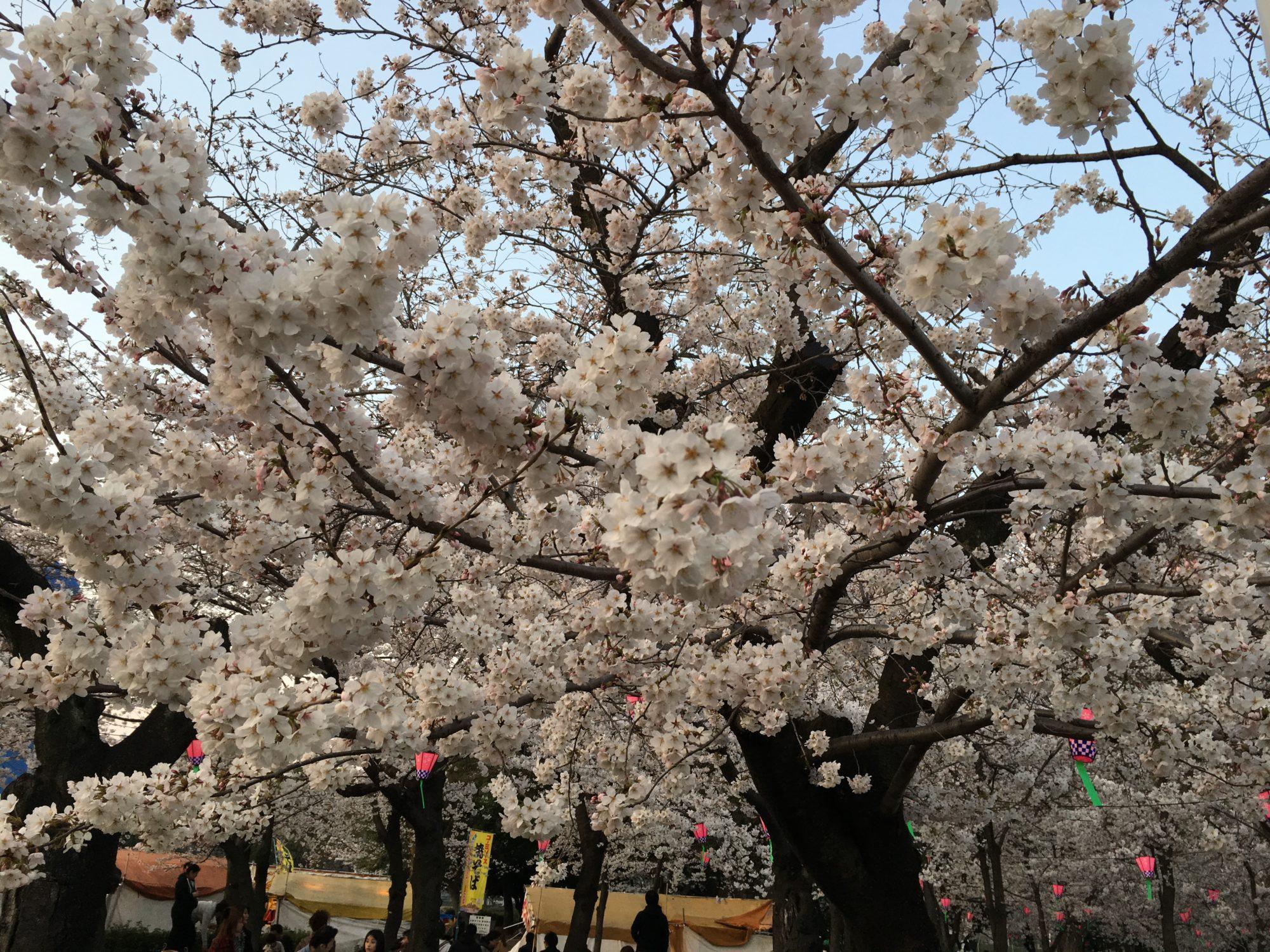 鶴舞桜(1)