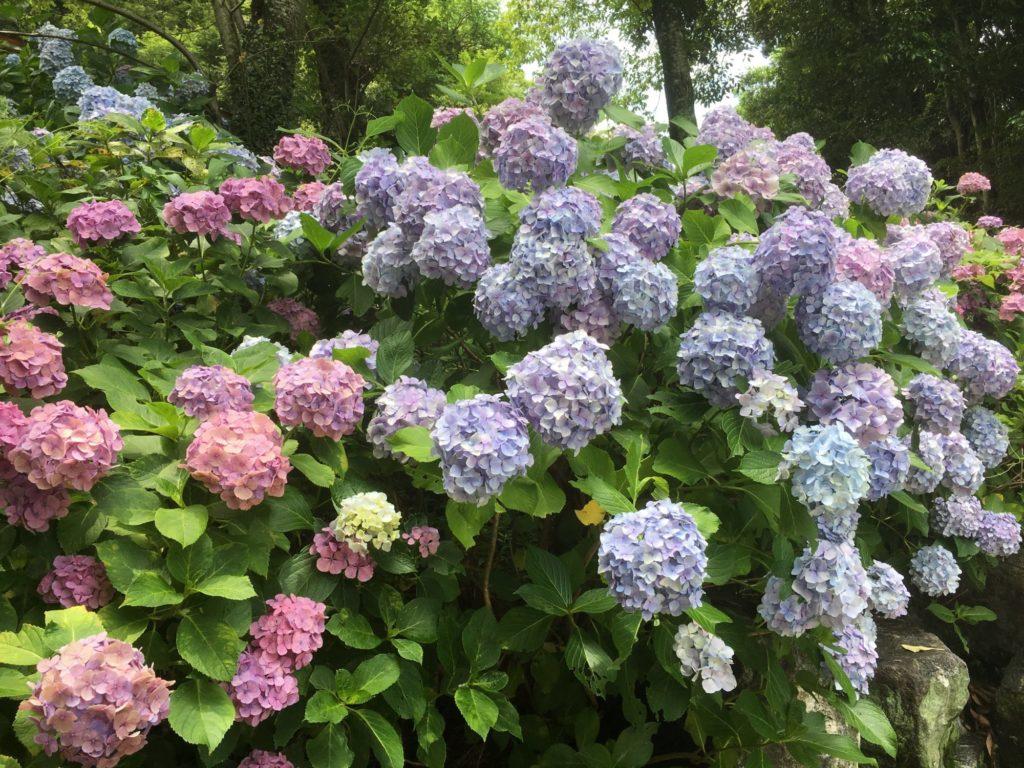 多くの紫陽花